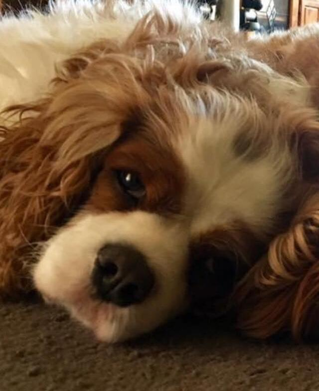 Photo shows cavalier Toby looking upset.