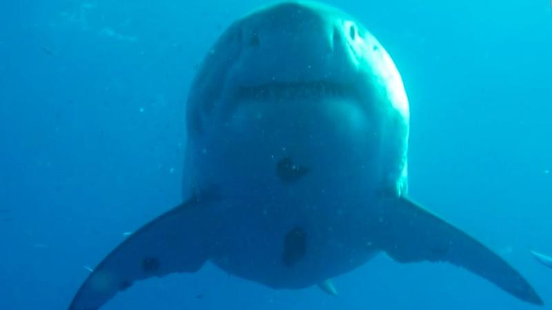 The shark was heavily pregnant at the time of the encounter. Photo: Michael Maier
