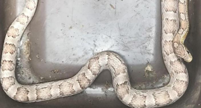 A Buckinghamshire woman had the fright of her life when she found the corn snake in her kitchen drawer (RSPCA)