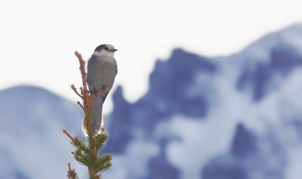 The grey jay, or Canada jay, has evolved to survive in Canada's northern forested areas. One tactic is the way they store their food in caches to feed on during the coldest months of winter. (Brian Keating - image credit)