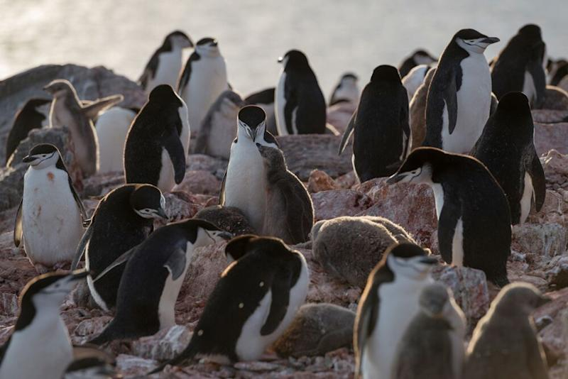 Chinstrap penguin colony at Muckle Bluff on the south coast of Elephant Island. | © Christian Åslund/Greenpeace