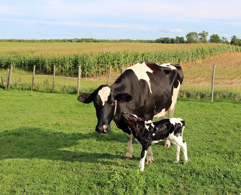 A mother Holstein and her calf. (Photo: Diane Kuhl via Getty Images)