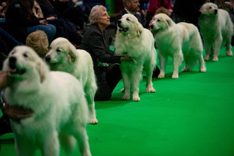 <p>Pyrenean Mountain Dogs on show at during the third day of the 2020 Crufts Dog Show</p> (PA)