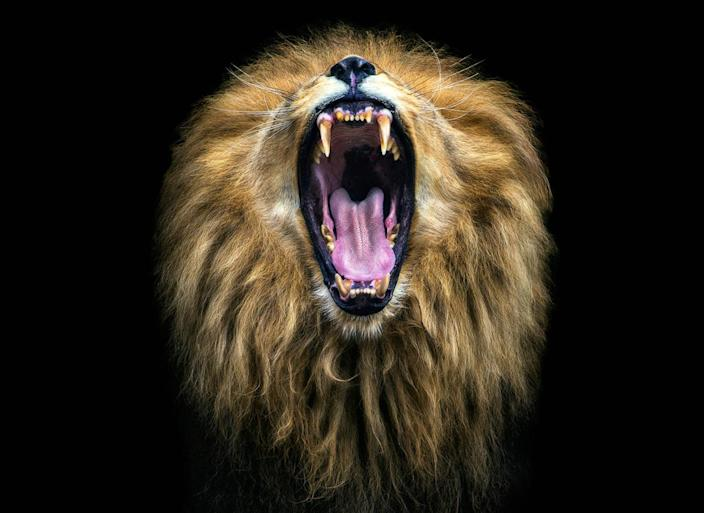 A lion roars at the camera. (Photo: Pedro Jarque Krebs/Caters News)