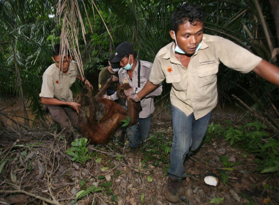 Activists with the Orangutan Information Center carry a tranquilized orangutan from a palm oil plantation in North Sumatra, Indonesia, on July 21, 2013. The adult female orangutan was reportedly trapped for several weeks in the palm oil plantation and was isolated from the rest of the surviving orangutan population in the region. (Photo: ASSOCIATED PRESS)
