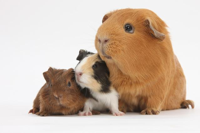 <p>Mother red guinea pig with her two babies. (Warren Photographic/Mercury Press) </p>