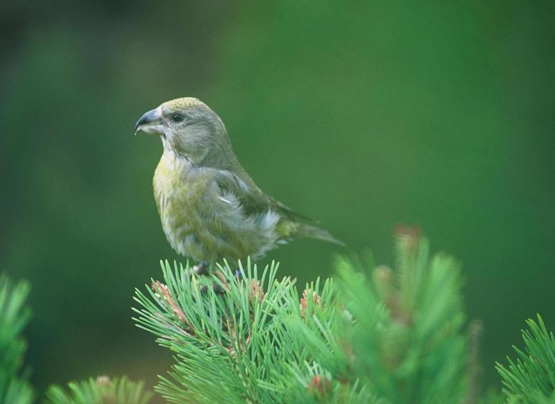 <strong>The Scottish crossbill, which is found only in Scotland,
