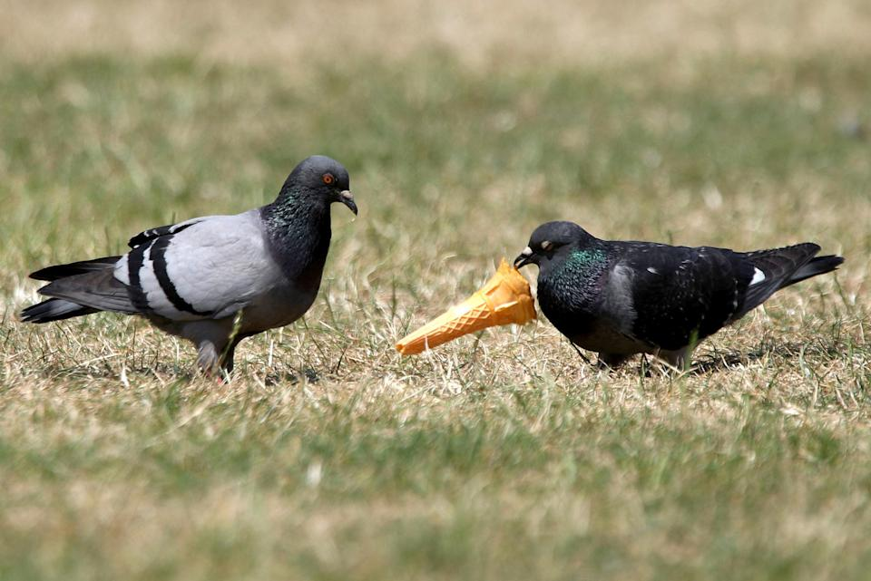 Pigeons could pass chlamydia to dogs, a vet has warned. But unlike in humans the disease will cause respiratory and eye problems. Stock image. (PA)