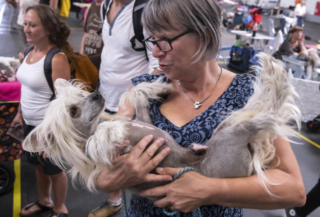 <p>A Chinese Crested dog relaxes in the arms of Martina Rehbehn besides the ring during an international dog and cat exhibition in Erfurt, Germany, June 16, 2018. (Photo: Jens Meyer/AP) </p>