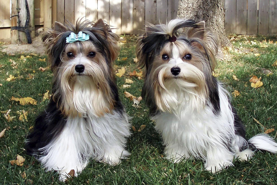 "This undated photo, provided by the Biewer Terrier Club of America and American Kennel Club, shows two Biewer Terriers. The American Kennel Club announced Monday, Jan. 4, 2021, that the Biewer — pronounced like ""beaver"" — became its 197th recognized breed. That makes them eligible to compete in events including the prestigious Westminster Kennel Club show, which will be held in June this year instead of its usual February date. (Courtesy Biewer Terrier Club of America and American Kennel Club via AP)"
