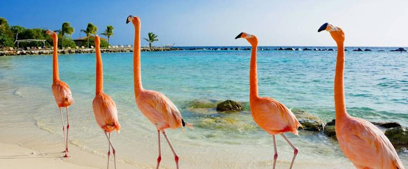 Flamingo on the beach, Aruba island