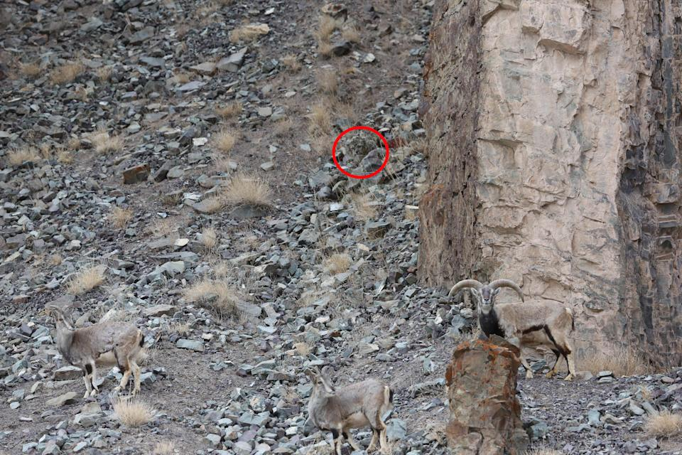 Here he is! The leopard can be seen in the red circle (Picture: Caters)