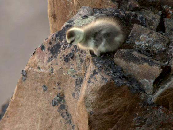 Day-old chicks plummet down a 400-feet drop in search of food (National Geographic )