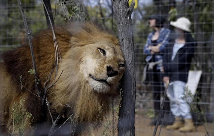<p>A former circus lion scratches its head against a tree inside an enclosure at Emoya Big Cat Sanctuary in Vaalwater, South Africa, on May 1, 2016. <i>(Themba Hadebe/AP)</i></p>