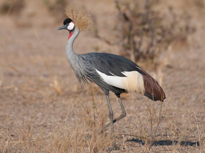 The grey crowned crane can be found in southern Africa.