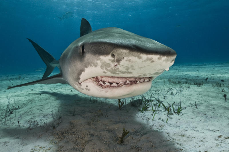 Tiger sharks (Galeocerdo cuvier) are common visitors of the reefs north of the Bahamas in the Caribbean