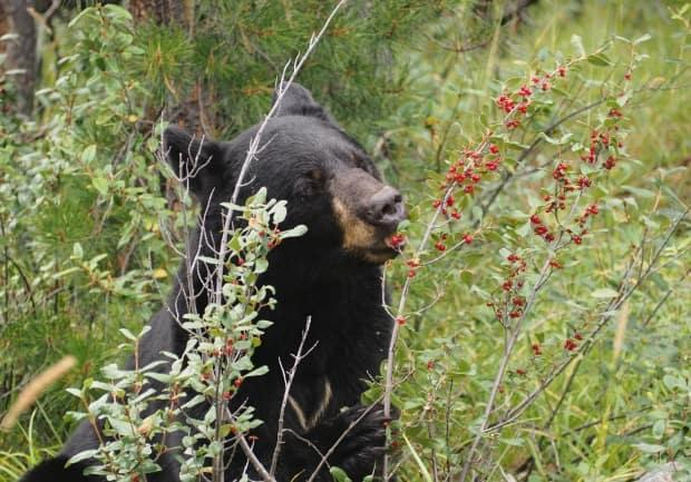 A black bear eating berries near Jasper, Alta., in August 2020. The Department of Natural Resources in the N.W.T. says bear encounters are more likely this time of year, because the animals are foraging for berries ahead of the winter. (Therese Kehler/CBC News - image credit)