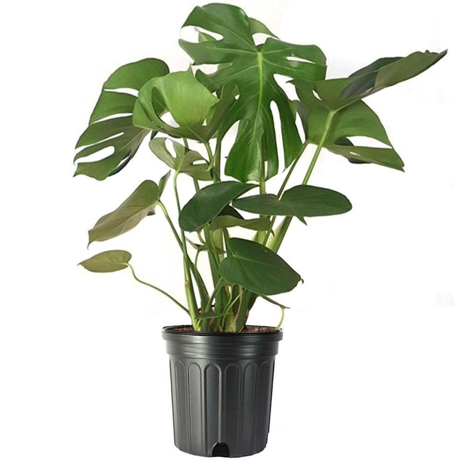 """<strong><h2>Monstera</h2></strong><br>""""When trying to fill and decorate a big corner with much-needed greenery, I recommend the Monstera, a majestically fluffy plant,"""" Letier tells us. """"This lovely lady requires little care — in fact, the most maintenance needed is a swift dusting every once in a while and a small drink once a week.""""<br><br><em>Shop</em> <strong><em><a href=""""https://www.etsy.com/shop/Earthyychildren"""" rel=""""nofollow noopener"""" target=""""_blank"""" data-ylk=""""slk:Earthyychildren"""" class=""""link rapid-noclick-resp"""">Earthyychildren</a></em></strong><br><br><strong>AmericanPlants</strong> Monstera Deliciosa 10"""" Large Split Leaf Philodendron, $, available at <a href=""""https://go.skimresources.com/?id=30283X879131&url=https%3A%2F%2Fwww.etsy.com%2Flisting%2F766598752%2Fmonstera-deliciosa-10-large-split-leaf"""" rel=""""nofollow noopener"""" target=""""_blank"""" data-ylk=""""slk:Etsy"""" class=""""link rapid-noclick-resp"""">Etsy</a>"""