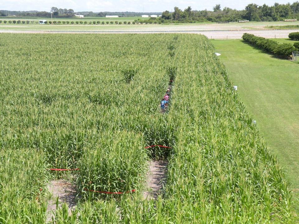"""<p>This <a href=""""https://longandscottfarms.com/"""" rel=""""nofollow noopener"""" target=""""_blank"""" data-ylk=""""slk:Florida farm"""" class=""""link rapid-noclick-resp"""">Florida farm</a>'s """"living puzzle"""" of a maze is typically open until December, thanks to the state's warmer weather. While young children may get tired roaming through the long alleys of corn, there are three entrances and exits available throughout the maze in case you need to leave early.</p><p><a class=""""link rapid-noclick-resp"""" href=""""https://go.redirectingat.com?id=74968X1596630&url=https%3A%2F%2Fwww.tripadvisor.com%2FAttraction_Review-g34461-d2355833-Reviews-Long_Scott_Farms-Mount_Dora_Lake_County_Florida.html&sref=https%3A%2F%2Fwww.countryliving.com%2Flife%2Ftravel%2Fg22717241%2Fcorn-maze-near-me%2F"""" rel=""""nofollow noopener"""" target=""""_blank"""" data-ylk=""""slk:PLAN YOUR TRIP"""">PLAN YOUR TRIP</a></p>"""