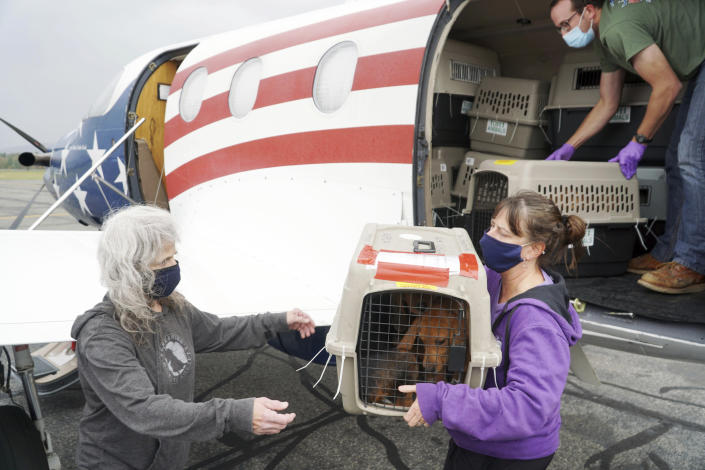 A plane full of a few dozen puppies arrives at Pittsfield Municipal Airport in Pittsfield, Mass., WEdnesday, Oct. 7, 2020, from Mobile, Ala., ahead of Tropical Storm Delta to make room in the shelters affected by the storm. Some of the dogs will go to the Berkshire Humane Society and others will go to the Montgomery SPCA in New York state. Once medically cleared, the dogs will be available for adoption to approved homes. (Ben Garver/The Berkshire Eagle via AP)