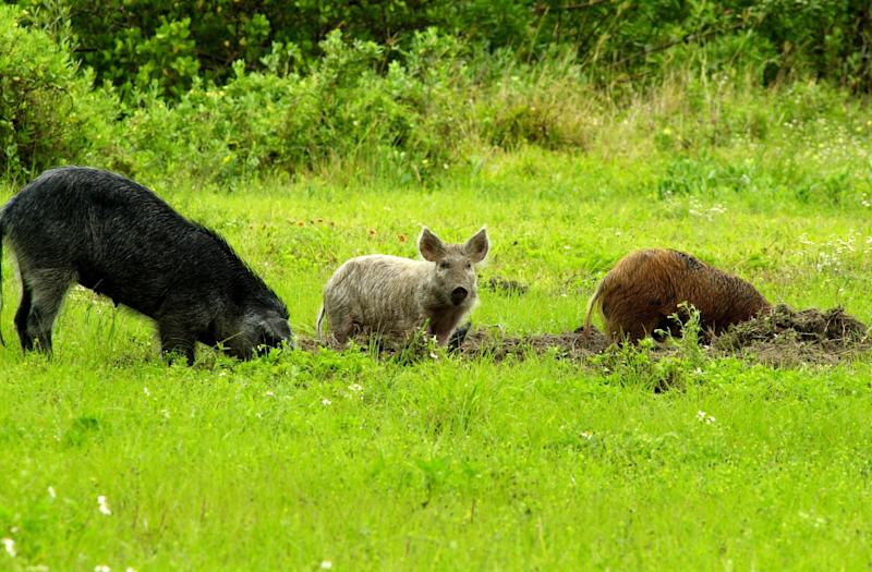 "Feral swine have been called the ""rototillers"" of nature. Their long snouts and tusks allow them to rip and root their way across America in search of food. Unfortunately, the path they leave behind impacts ranchers, farmers, land managers, conservationists, and suburbanites. (NASA/U.S. Department of Agriculture/Flickr)"