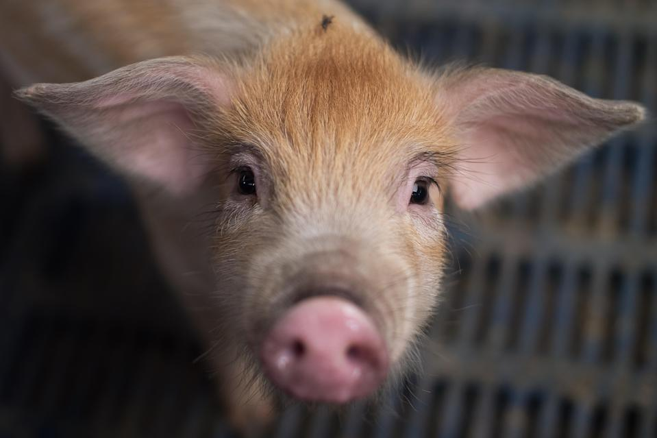 In this picture taken on June 5, 2017 a piglet is seen at a pig farm on the outskirts of Beijing. Millions of backyard pig farmers in China are being forced out of the industry as the government cracks down on pollution and encourages producers to expand their operations with the aim of modernizing the industry and smoothing out fluctuations in prices and supply. / AFP PHOTO / NICOLAS ASFOURI / TO GO WITH: China-agriculture-economy-pork, FOCUS by Allison JACKSON (Photo credit should read NICOLAS ASFOURI/AFP/Getty Images)