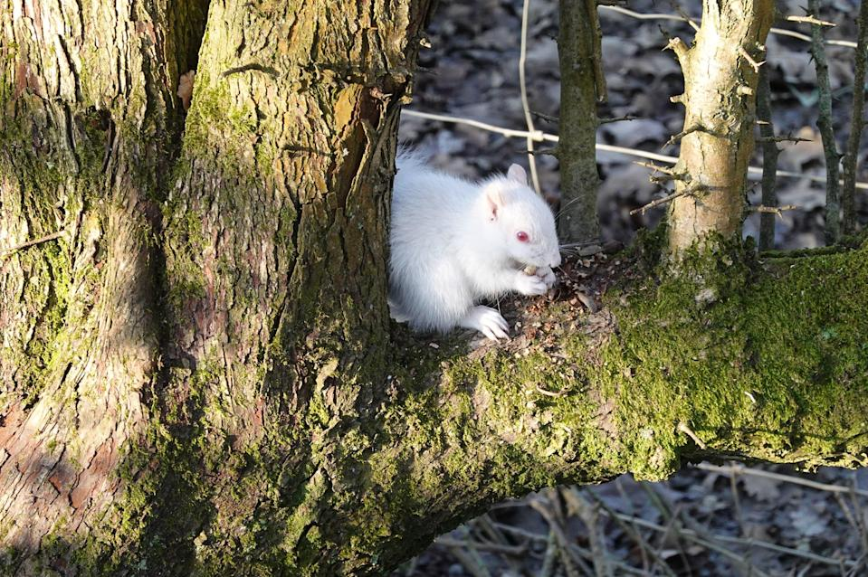 <p>The albino squirrel sitting on a tree. Their white fur makes them more vulnerable to attack from predators</p> (PA)