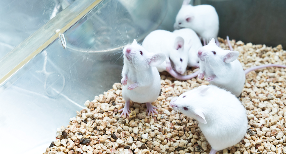 A stock image of white mice in a glass cage.