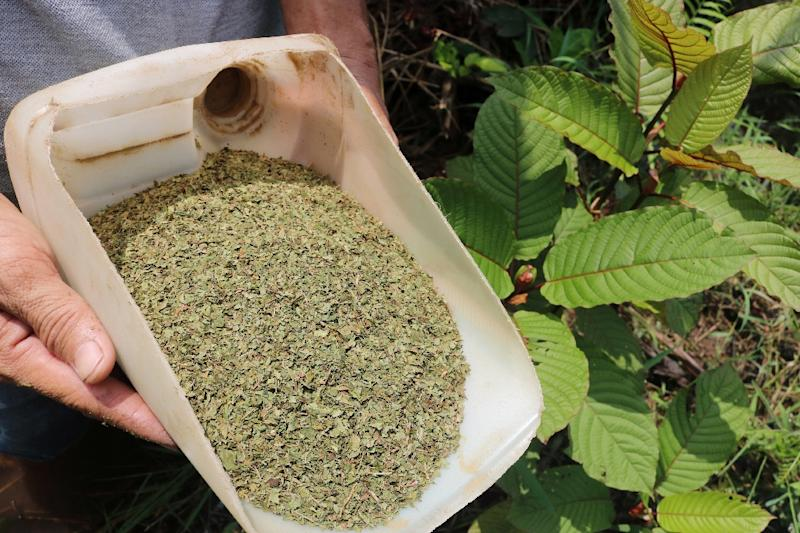 Kratom is already banned for domestic consumption though it allows its export in unprocessed form (AFP Photo/Louis Anderson)