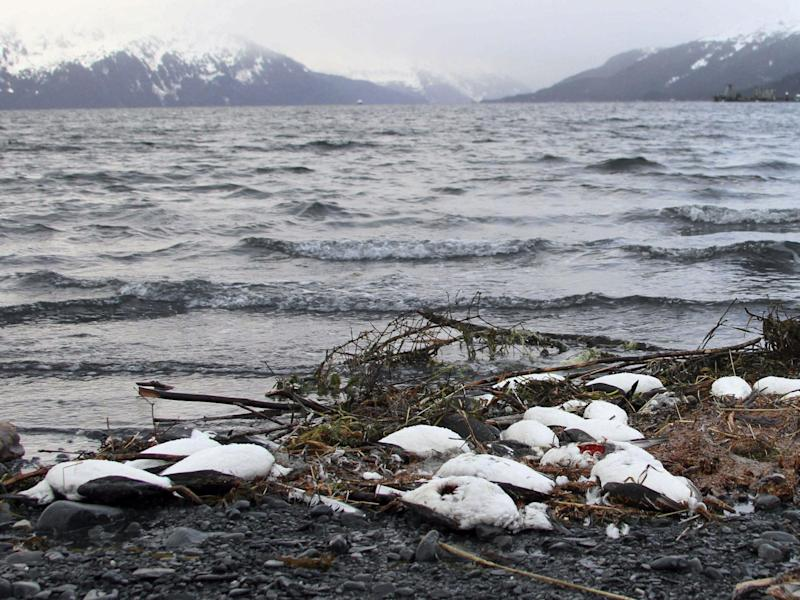 Dead common murres lie washed up on a rocky beach in Whittier, Alaska, in January 2016: AP
