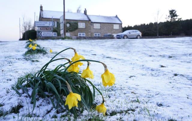 Daffodils wilt in the cold after snow fell in Slayley, Northumberland