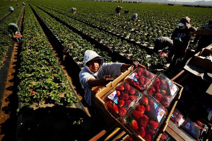 Al Seib  Los Angeles Times WORKERS PICK strawberries in Santa Maria. Recruitment of seasonal foreign workers hit a record 20,905 so far this year.