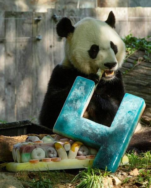 "Giant panda Bei Bei enjoys the frozen ""panda-friendly"" cake made for his fourth birthday at the National Zoo in Washington (AFP Photo/Alastair Pike)"