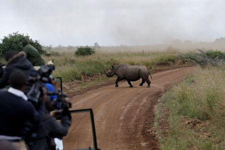 FILE PHOTO: Photographers and Kenya Wildlife Service personnel watch a female black rhino cross a road during a rhino translocation exercise In the Nairobi National Park