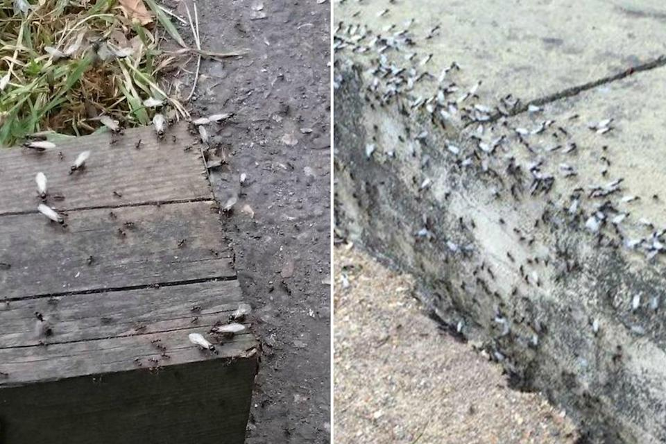 Flying ants are going to swarm over the capital as the temperatures increase (@JimothyJ/@kikistclair)