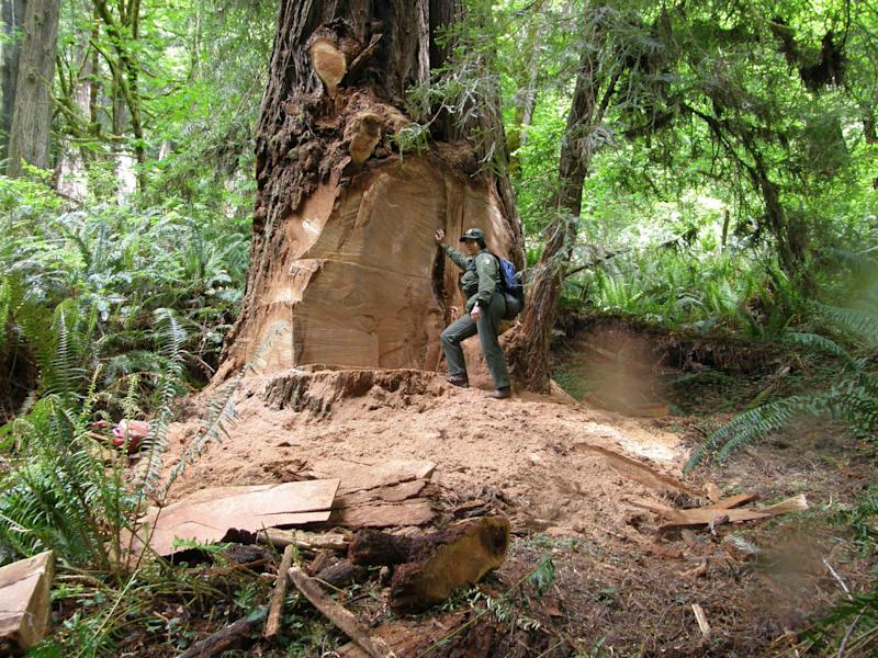 Redwood poaching spreads to national forests