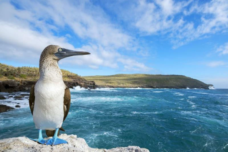 A blue-footed booby on the coast of Sante Fé island.