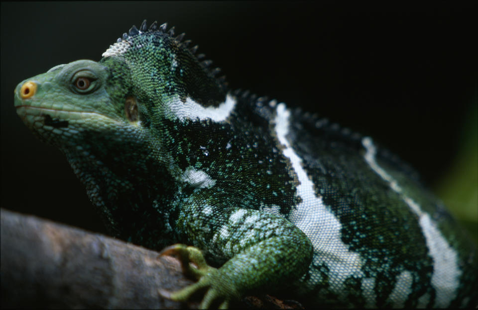 Fiji Crested Iguana, Brachylophus vitiensis, Portrait, discovered in 1979 This very rare iguana species occurs only on some small islands of the Fiji group, The species is protected, Critically Endangered under IUCN. (Photo by: Education Images/Universal Images Group via Getty Images)