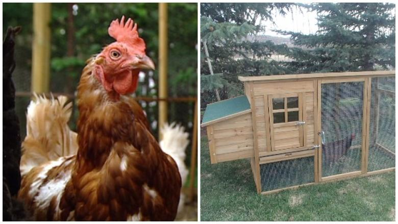 Rent-a-chicken business hatches 'laying guarantee' for backyard farmers