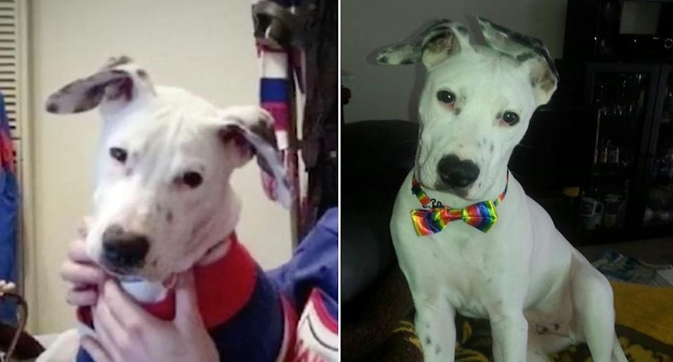 Amigo, a 2-year-old Bull Arab Great Dane cross dog (pictured) was murdered in his own backyard in Altona, Melbourne in a case of animal abuse