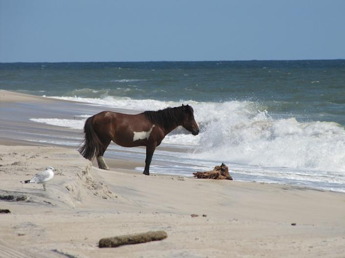 While hunting for shells on Assateague Island, you may also spot its famed wild ponies.