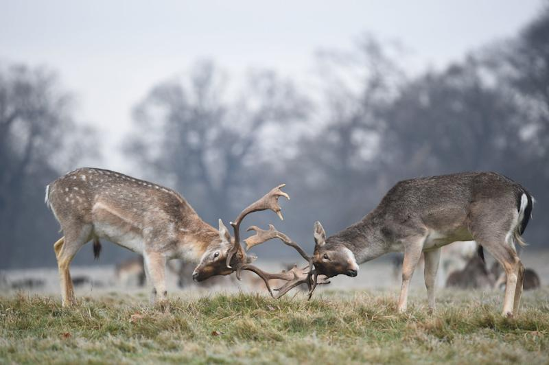 Deer in Richmond Park, south west London, as the cold weather continues (PA)