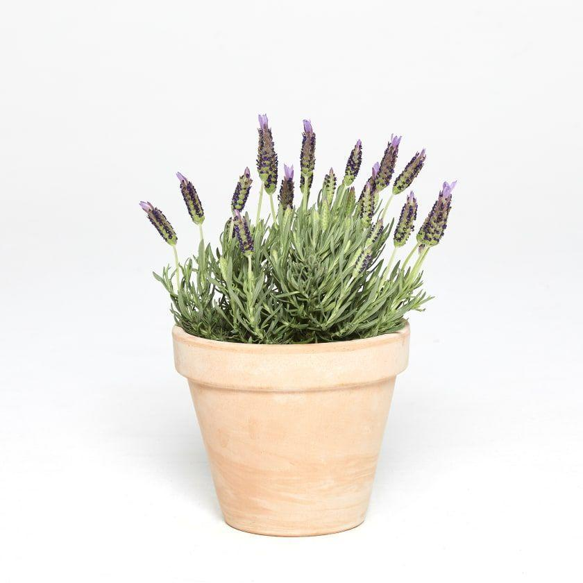 "<h3><a href=""https://www.patchplants.com/gb/en/plants/french-lavender-414/?variant=904&slider_ref=2895&gclid=EAIaIQobChMIn8qi1Juv4wIVTPlRCh3vKAohEAQYASABEgLO_vD_BwE"" rel=""nofollow noopener"" target=""_blank"" data-ylk=""slk:Patch French Lavender Plant"" class=""link rapid-noclick-resp"">Patch French Lavender Plant</a></h3><p>The scent of lavender is meant to help you relax, so those with high-pressure jobs — or even those who just have general anxiety — could benefit from growing lavender right at their desk.</p><p><strong>Size:</strong> 30 - 50cm</p><br><br><strong>Patch</strong> French Lavender Plant, $4.5, available at <a href=""https://www.patchplants.com/gb/en/plants/french-lavender-414/?variant=904&slider_ref=2895&gclid=EAIaIQobChMIn8qi1Juv4wIVTPlRCh3vKAohEAQYASABEgLO_vD_BwE"" rel=""nofollow noopener"" target=""_blank"" data-ylk=""slk:Patch"" class=""link rapid-noclick-resp"">Patch</a>"