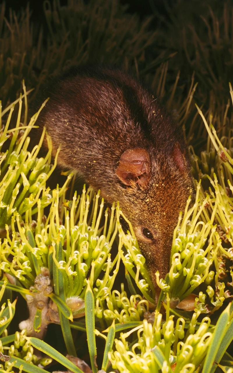 A honey possum feeds on nectar of Grevillea flowers - Credit: Auscape/UIG via Getty Images)