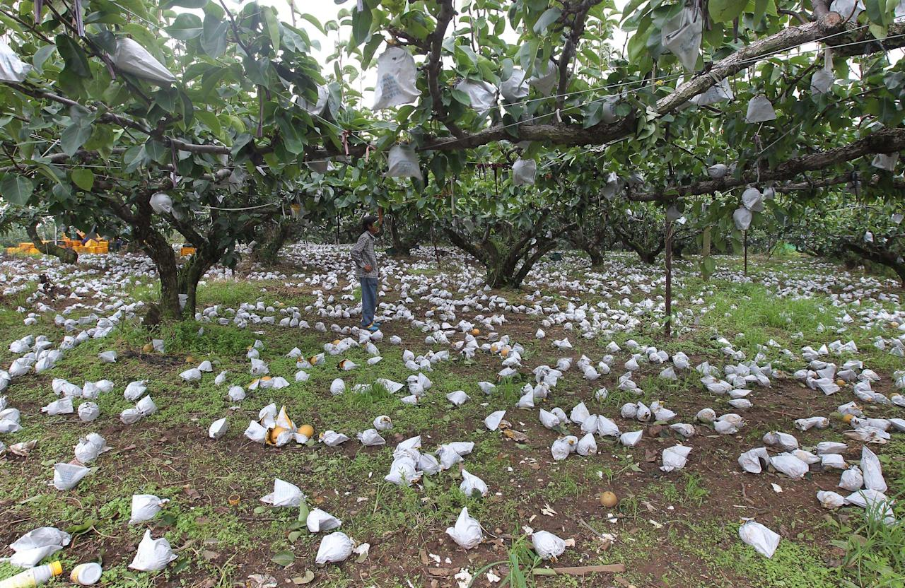 A farmer stands around fallen pears at his farm following torrential rains and strong winds caused by Typhoon Bolaven in Jeonju, South Korea, Wednesday, Aug. 29, 2012. The Korean Peninsula cleaned up after one powerful typhoon Wednesday and girded itself for another that could be particularly damaging to North Korea, which is still rebuilding from earlier floods. (AP Photo/Yonhap, Choi Young-soo) KOREA OUT