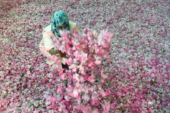 A Moroccan woman sorts Damask Roses (Rosa Damascena) buds, which are notably used to make cosmetic products, at a co-operative on May 14, 2016 outside the town of Kelaat Mgouna, at the foot of the High Atlas Mountains in Morocco (AFP Photo/Fadel Senna)
