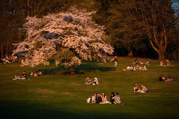 People sit on the side of a hill below a cherry blossom tree in full bloom at Burnaby Mountain Park at sunset, in Burnaby, B.C., on Saturday, April 17, 2021. THE CANADIAN PRESS/Darryl Dyck