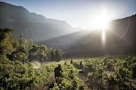 Grape harvest in the Hottentots Mountains