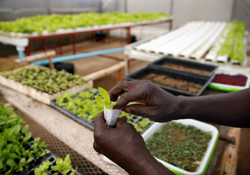 A worker places plants inside a hydroponic garden in Harare
