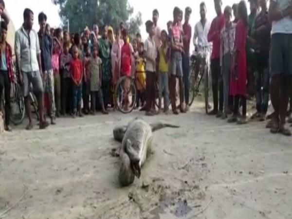 The python had consumed a large prey because of which it was unable to move. (Photo/ANI)